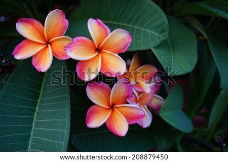 Orange and pink plumeria frangipani flowers