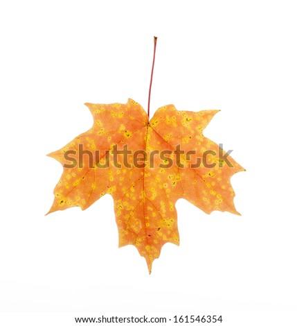 Orange and Red Autumn Maple Leaf Isolated - stock photo