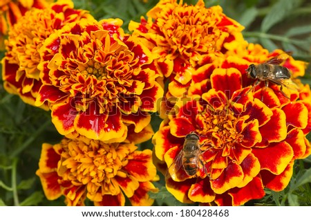 Orange and red French marigold or Tagetes patula with hoverflies in summer - stock photo
