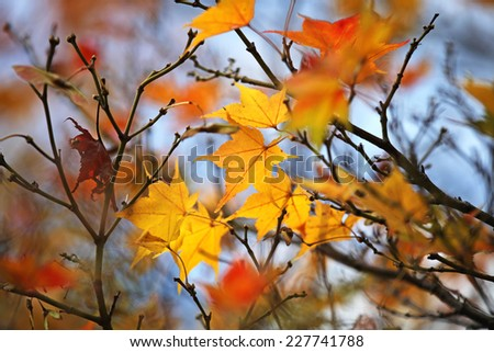Orange and red Japanese maple leaves - stock photo