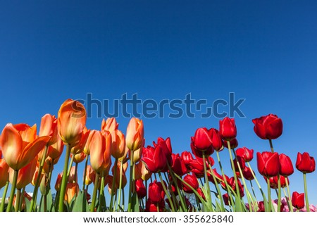 Orange and red tulip flowers on long green stems against a clear blue sky background. - stock photo