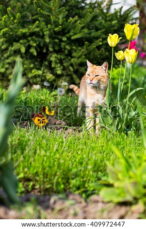Orange and white colored domestic cat, hunting in the flowers garden