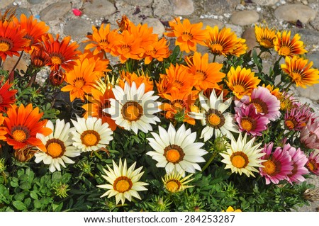 Orange and white Gazania rigens aka Trailing Gazania flowers