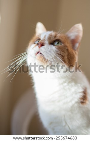 Orange and white tabby cat looks out the window - stock photo