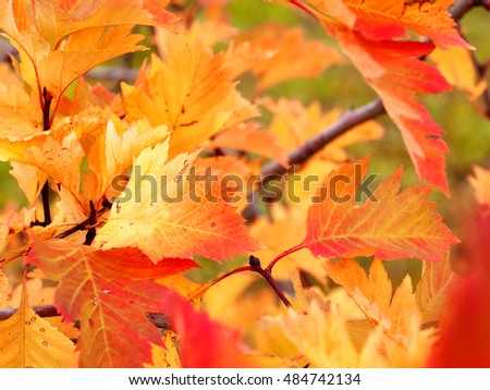 orange and yellow leaves on a shrub in autumn, selective focus