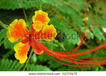 Orange and Yellow Poinciana Flower - stock photo