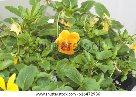Orange and yellow potted pansy