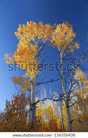 Orange and yellow Quaking Aspen trees against blue sky. - stock photo