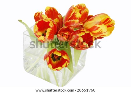 orange and yellow tulips in square glass container with clipping path