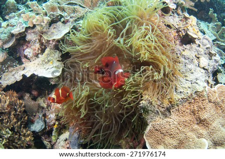 Orange anemone and anemone fish - stock photo
