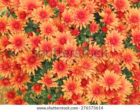 Orange aster flowers background - stock photo