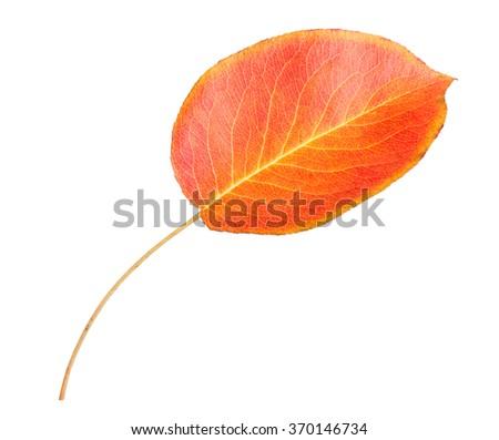 Orange autumn leaf isolated on a white background - stock photo