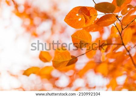 Orange autumn leaves - stock photo
