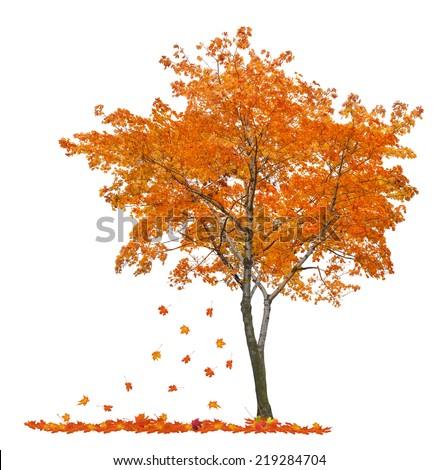 orange autumn maple tree isolated on white background - stock photo