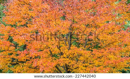 Orange Autumn tree - stock photo