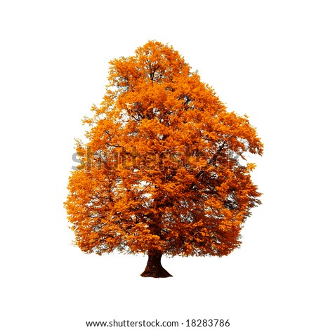 orange autumn tree isolated on white - stock photo