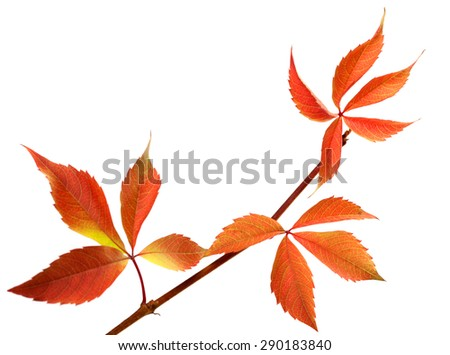Orange autumnal twig of grapes leaves (Parthenocissus quinquefolia foliage). Isolated on white background. - stock photo