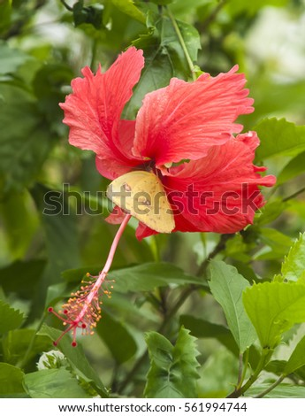 Orange-barred Sulphur butterfly collecting nectar from a red hibiscus flower