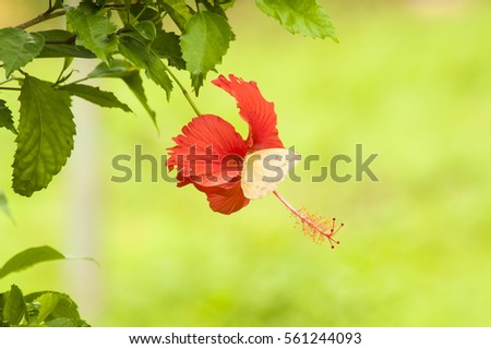 Orange-barred Sulphur butterfly drinking the nectar from a red hibiscus flower