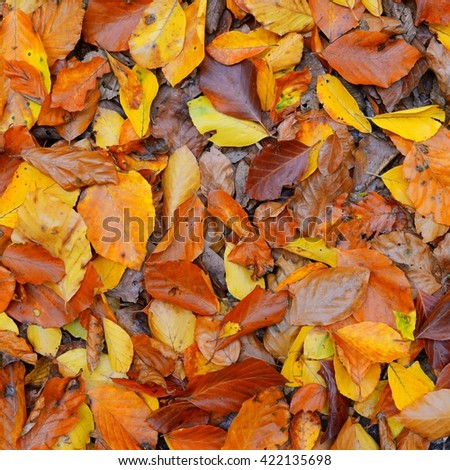 Orange beech tree leaves texture in autumn - stock photo