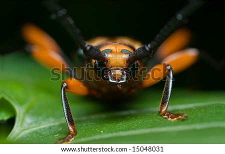 Orange beetle on leaf