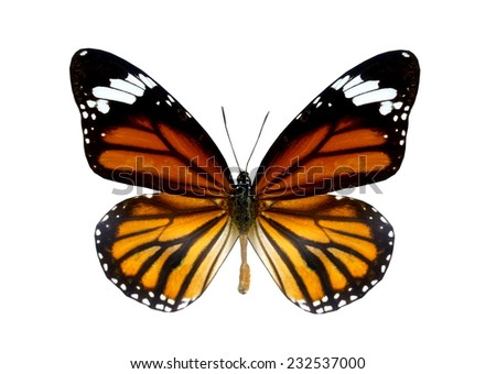 orange black butterfly isolated - stock photo