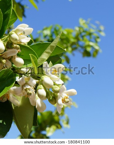 Orange blossom, selective focus on the flower - stock photo
