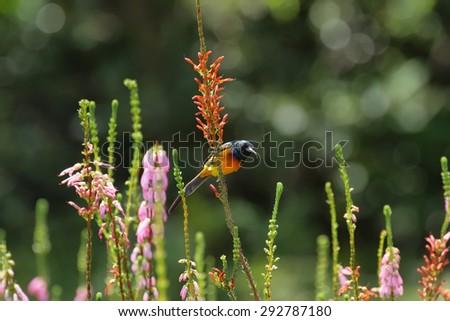 Orange Breasted Sunbird (Anthobaphes violacea) in Kirstenbosch botanical garden, south Africa - stock photo