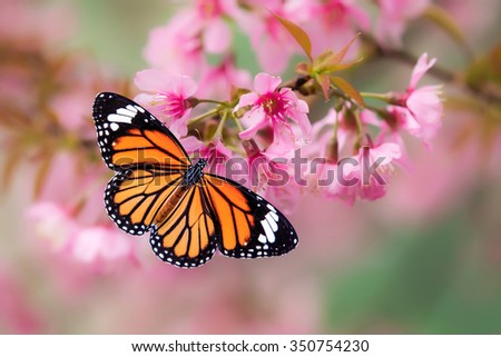 Orange butterflies on the pink cheery blossom - stock photo