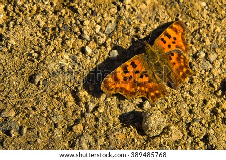 Orange butterfly on a ground at mountain path, east Serbia