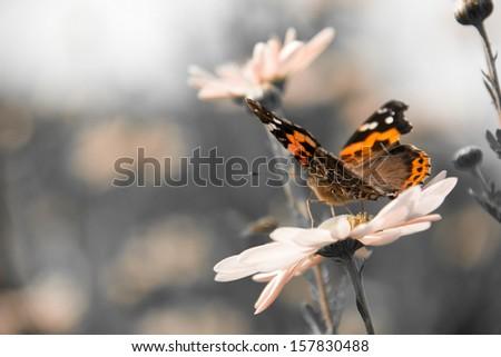 orange butterfly on pink camomile, macro shot - stock photo