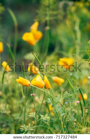 Orange California Poppies Bloom on a Spring Afternoon.