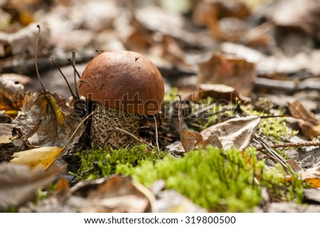 Orange-cap boletus in september forest.