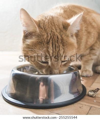 Orange cat eating in the floor  - stock photo