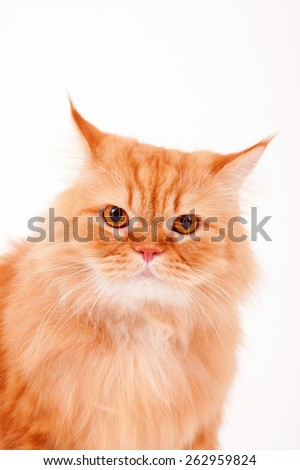 Orange cat / Garfield cat / sitting cat / collar / fur cat / persian cat / looking  - stock photo