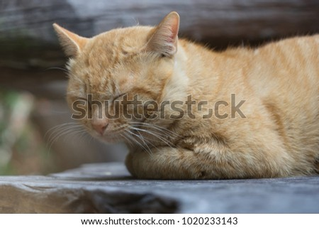 Orange cat sleeping on wooden chair, cute pet concept. animal portrait