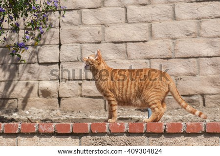 Orange cat standing with open mouth in backyard.  - stock photo