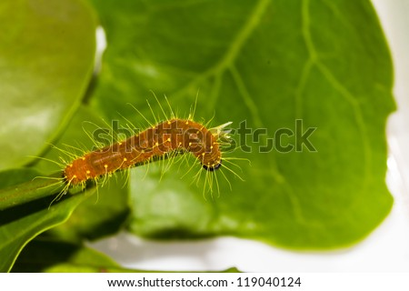 Orange caterpillar crawl on branch and leaf - stock photo