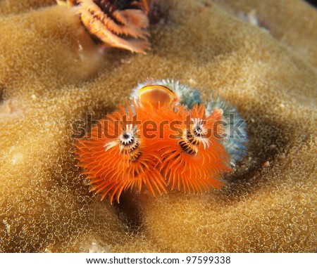 Orange Christmas tree worms (Spirobranchus giganteus) on big coral reef, indo-pacific ocean. - stock photo