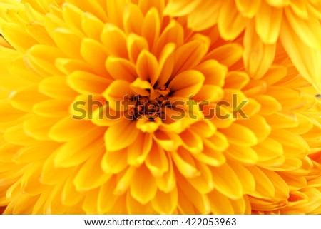 Orange chrysanthemum background, close up