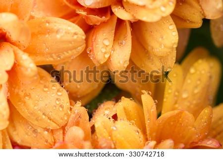 orange chrysanthemum flower and water drops in macro lens shot small DOF - stock photo