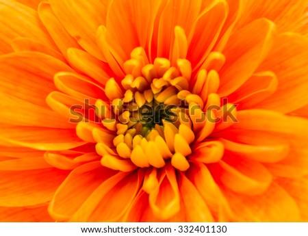 Orange Chrysanthemum Flower Centre Closeup. Beautiful Dahlia Flowerhead Macro - stock photo