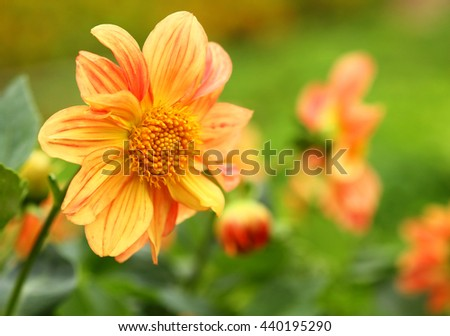 Orange chrysanthemum flower, Yellow flower, Spring flower