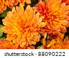 Orange Chrysanthemum Flowers - stock photo