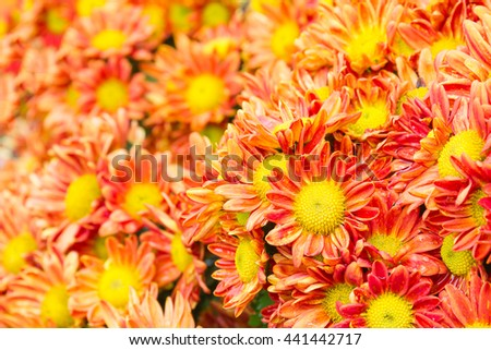 Orange Chrysanthemum flowers with water drop in garden