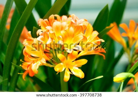 Orange Clivia Miniata flowers of lily in a flower bed