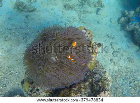 Orange clown fishes in Bali sea, coral fishes in actinia, orange fishes in coral reef, clown fish family, orange clown fish photo, coral reef underwater shoot with clown fishes, Bali, Indonesia - stock photo