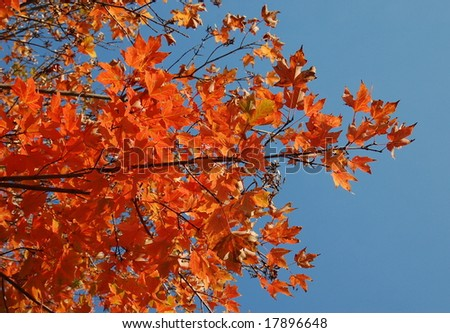orange colored leaves against intense blue sky - stock photo