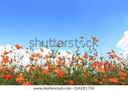 Orange cosmos flower with blue sky