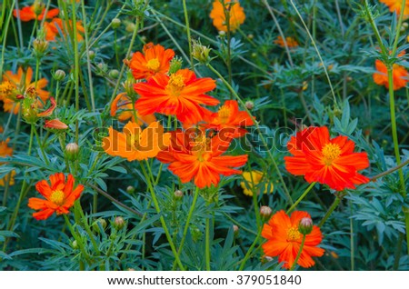 orange cosmos flower with blurred background